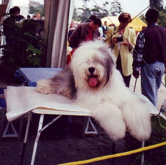 Perro en exposición