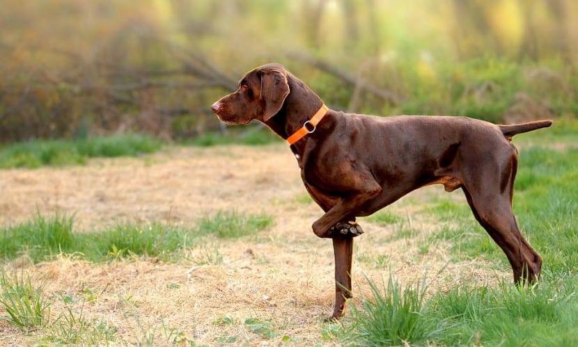Braco alemán marrón