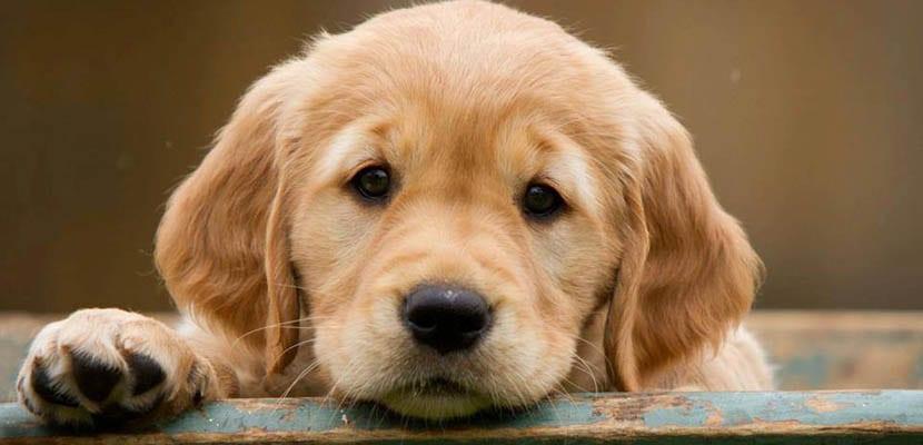 Raza de perros: Golden Retriever