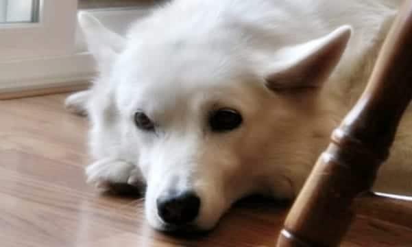 Perro estresado por extrañar a su dueño