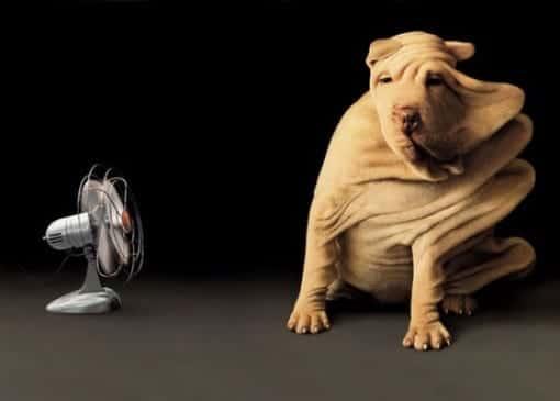 Perro refrescándose con un ventilador