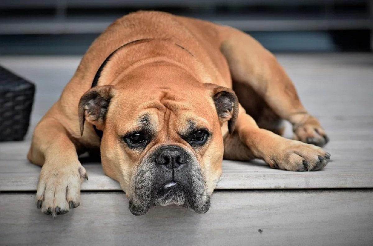 La orina oscura en perros puede ser síntoma de algo serio