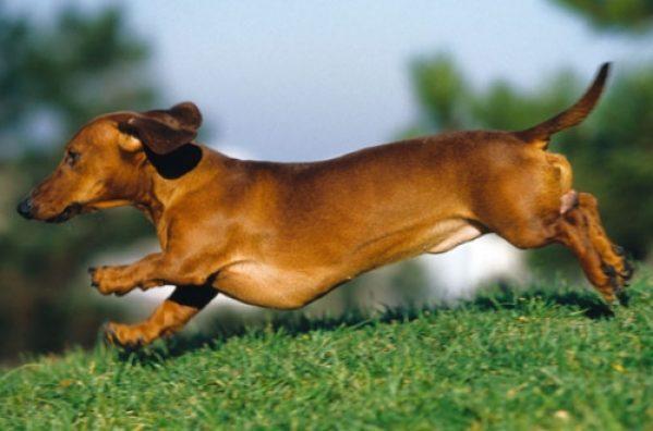 Problemas a la espalda en perros salchichas