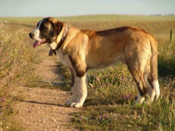 Raza de Perros: Rafeiro do Alentejo
