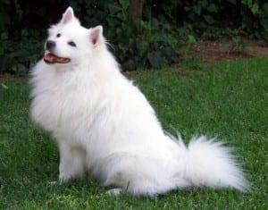 Perro blanco adulto