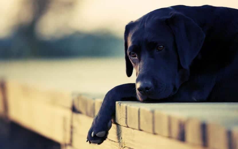 Perro con tristeza