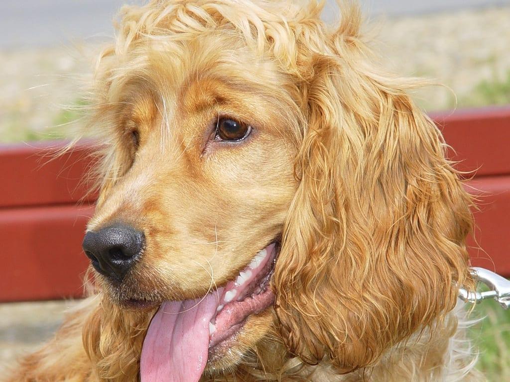 Perro de raza Cocker Spaniel