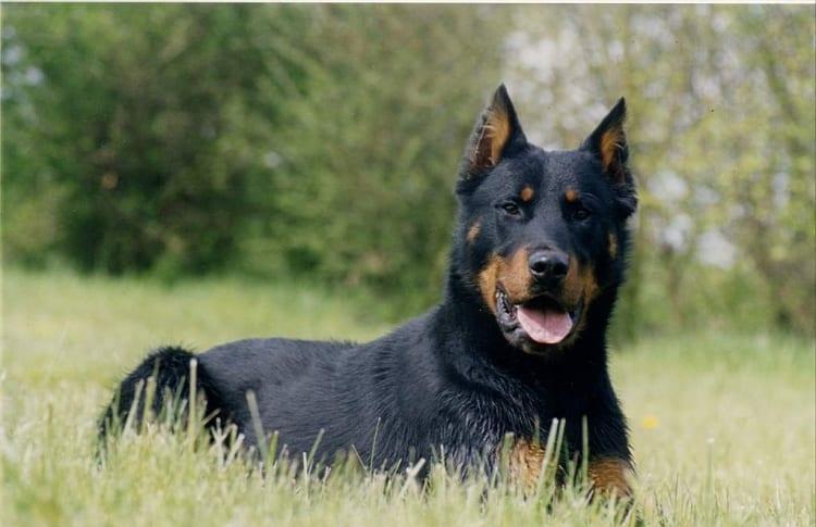 Perro de raza Beauceron