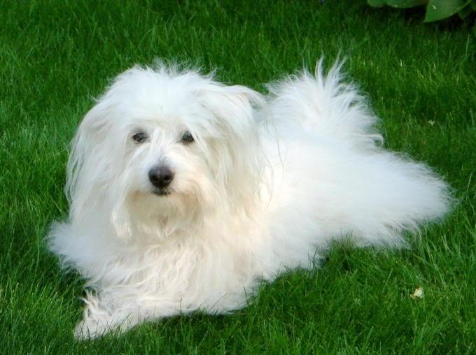 Perro de raza Coton de Tulear