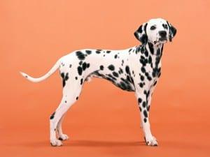 Perro de raza Dálmata