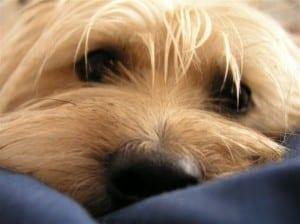 Enfermedades en la córnea del perro