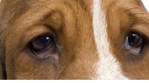 Enfermedades en los ojos del perro