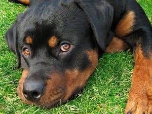 Alteraciones en los parpados de los perros