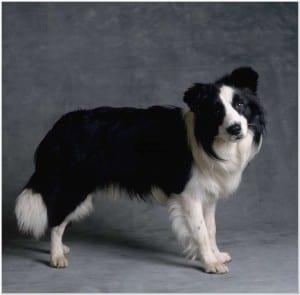 Perro de raza Border Collie