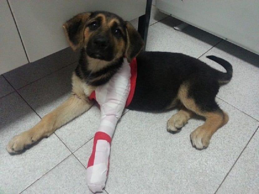 Perro con pata inflamada