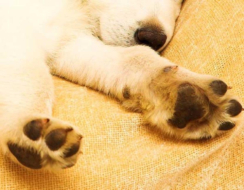 Perro con patas inflamadas