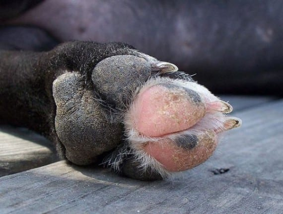 El moquillo canino