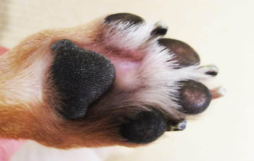 Pezuñas perro inflamadas