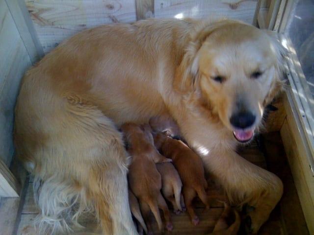 Perra amamantando una camada de cachorros