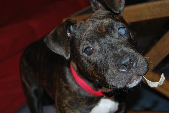 Perro con glaucoma en un ojo