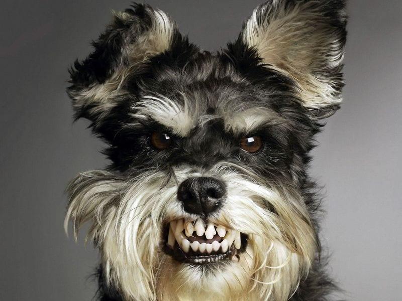 pautas para las peleas de perros