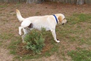 incontinencia urinaria en perros jovenes