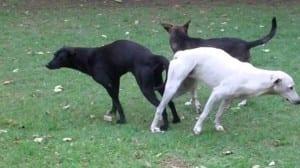 Perros pegados después del apareamiento