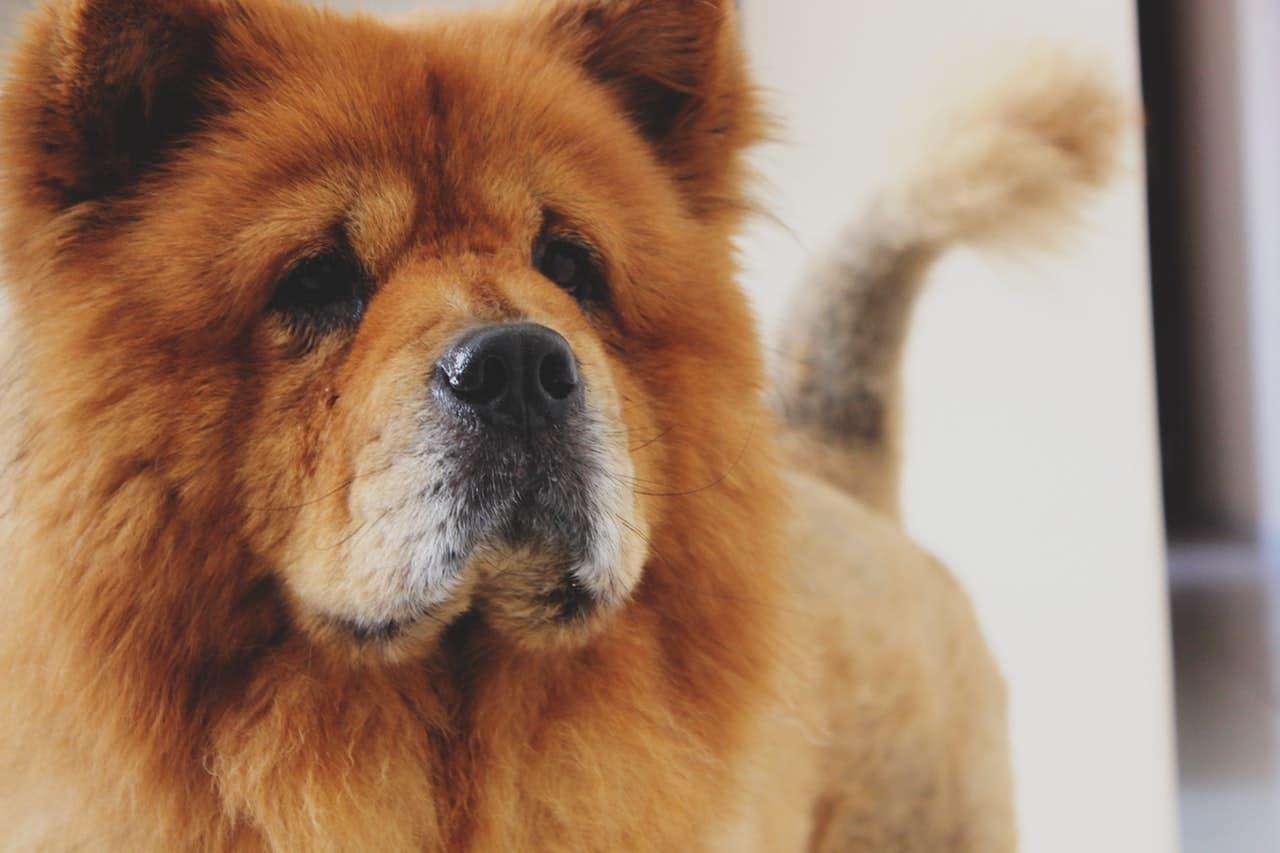 El chow chow es un perro primitivo