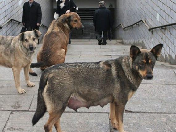 perro con tuberculosis