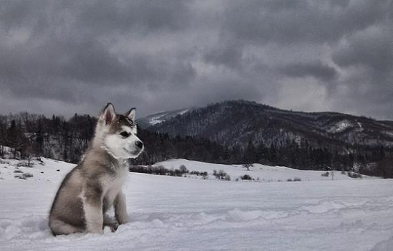 Diferencias y similitudes en perros nórdicos