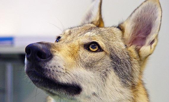 Raza del Perro Lobo de Checoslovaquia