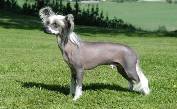 Eligen en California al perro más feo del mundo