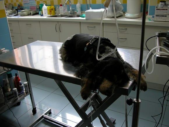 Como avanzó la medicina veterinaria para perros