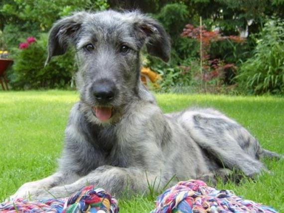 Cachorro de Irish Wolfhound
