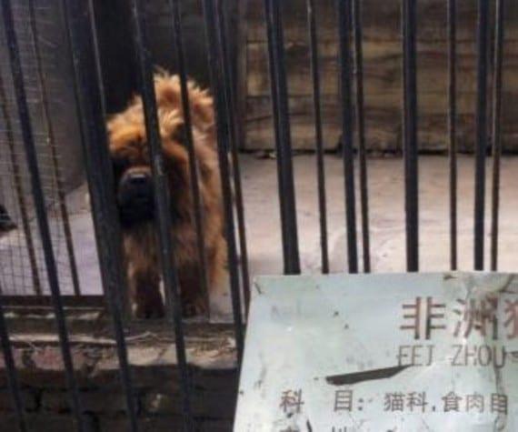 En un zoo hacían pasar perros por leones