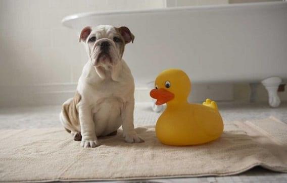 Rutinas de higiene en el perro