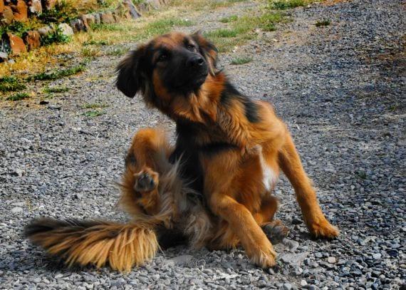 Perro rascándose