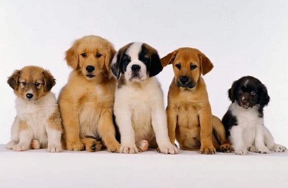 Babesiosis canina