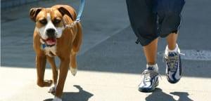 Pit Bull paseando con su dueño.