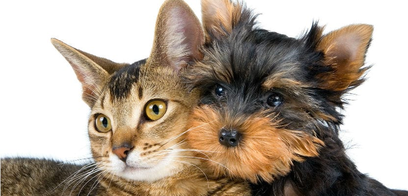 Perro yorkshire y gato.
