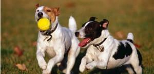 Dos perros jugando con la pelota.