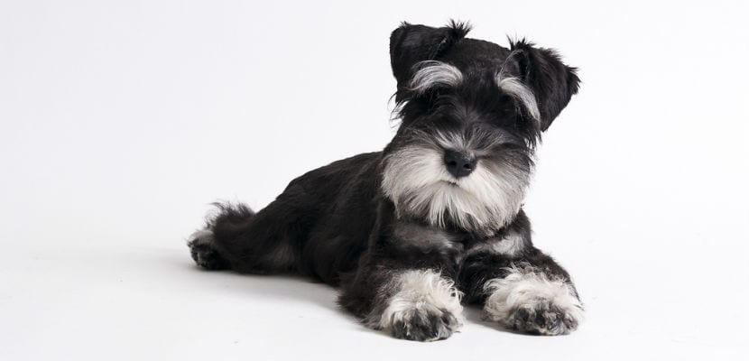 Cachorro de Schauzer Miniatura blanco y negro.