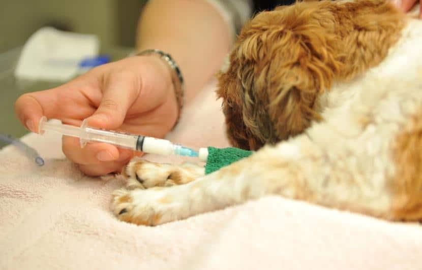 Primera vacuna de un cachorro