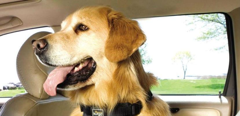 Perro en un coche.