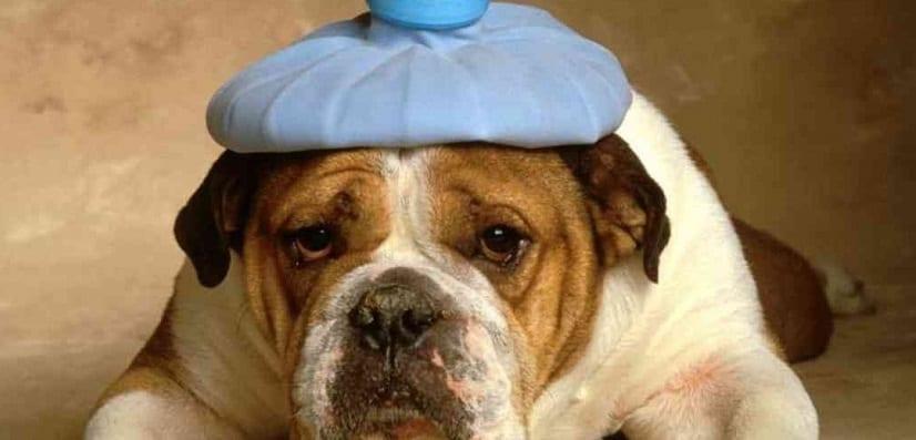 Cuidados postoperatorios del perro