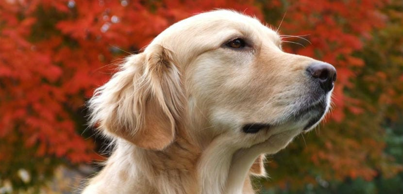 Labrador color canela.