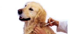 Veterinario vacunando a un Golden Retriever.