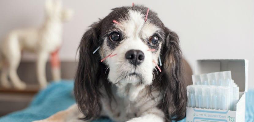 Perro en una sesión de acupuntura.
