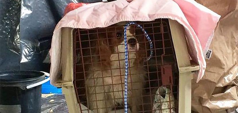 Bentley, el perro aislado de la enfermera con ébola