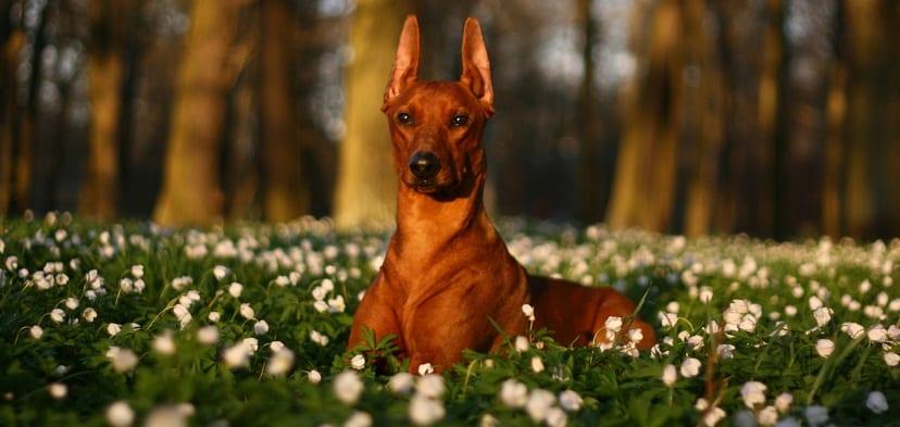 Orejas del perro: movimientos y significado